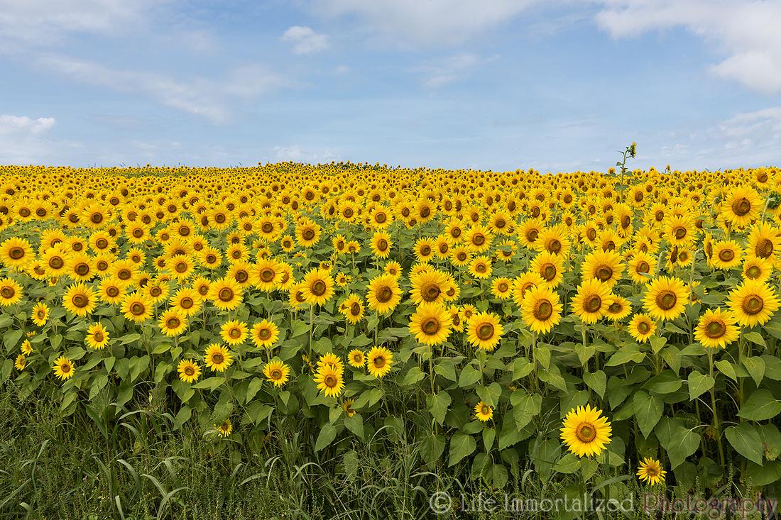 Colby Farm Sunflowers