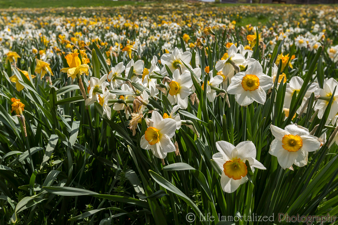 Daffodils at Tower Hill