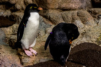 Southern Rockhopper Penguins