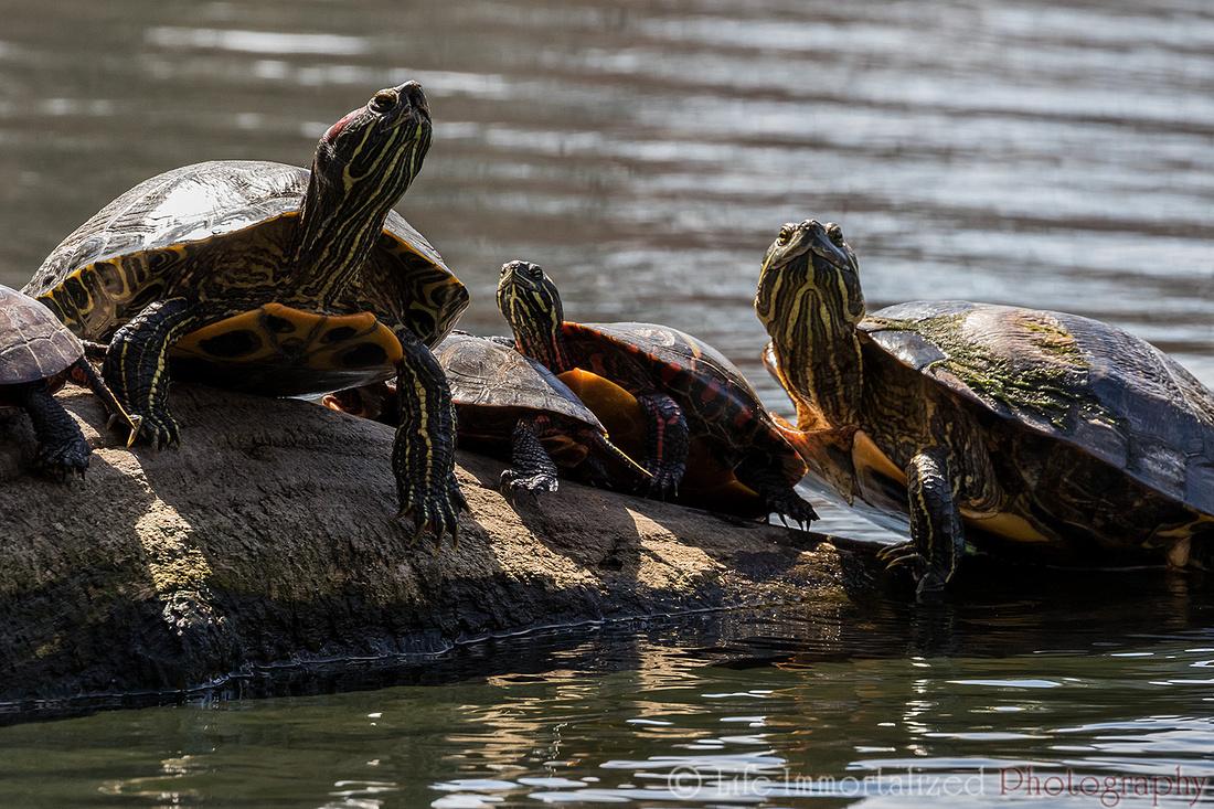 Turtles Sunbathing