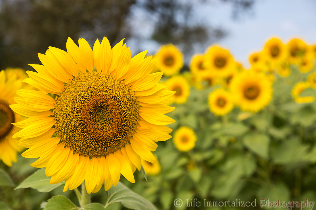 Colby Farm Sunflowers