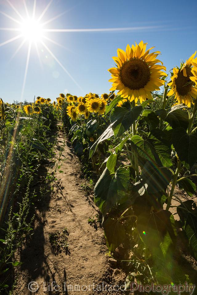 Sunflowers Sunburst